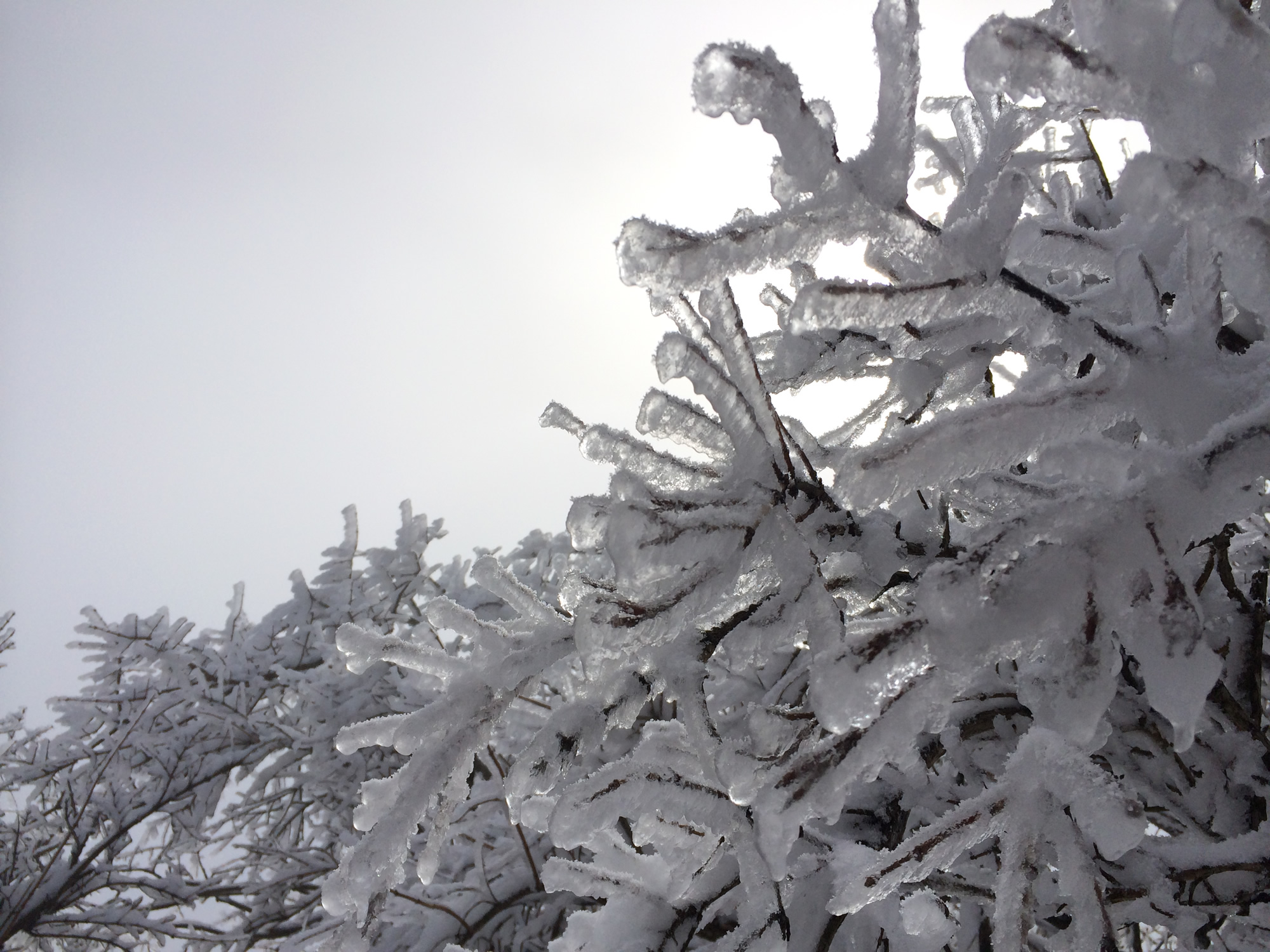 霧氷を、したから撮ってみた