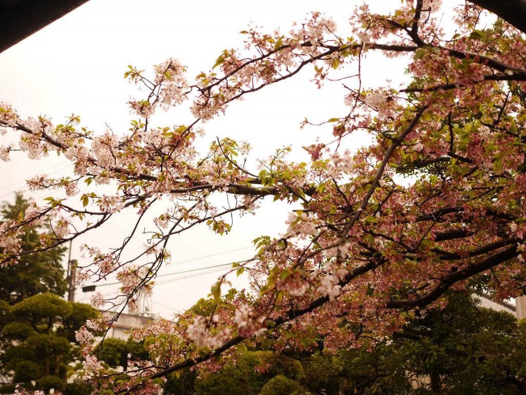 桜の花がお出迎え